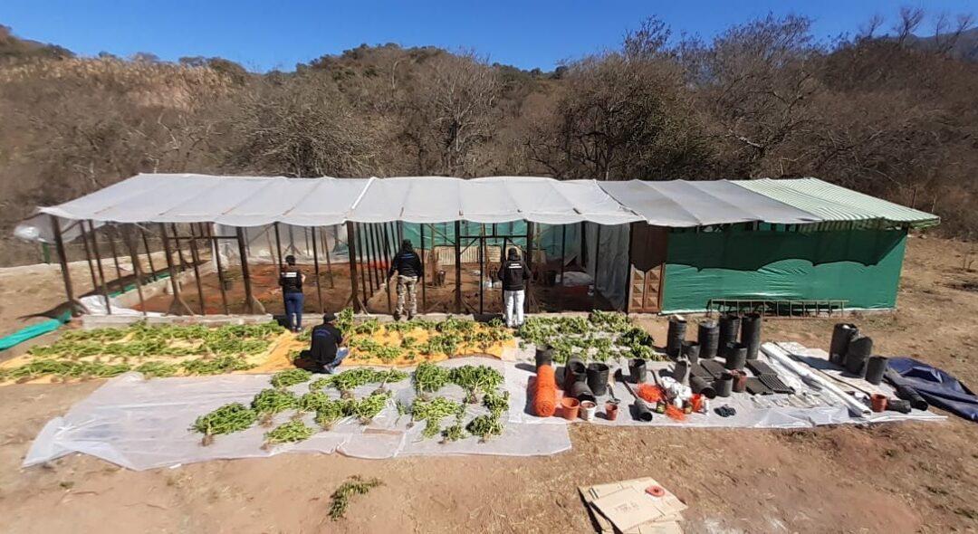 Prisión preventiva para los dueños de un invernadero de marihuana